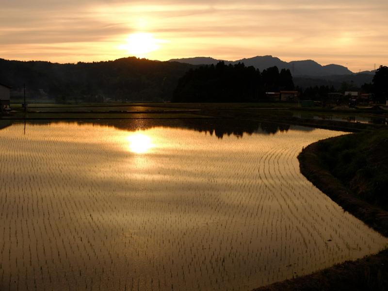 rice field copy