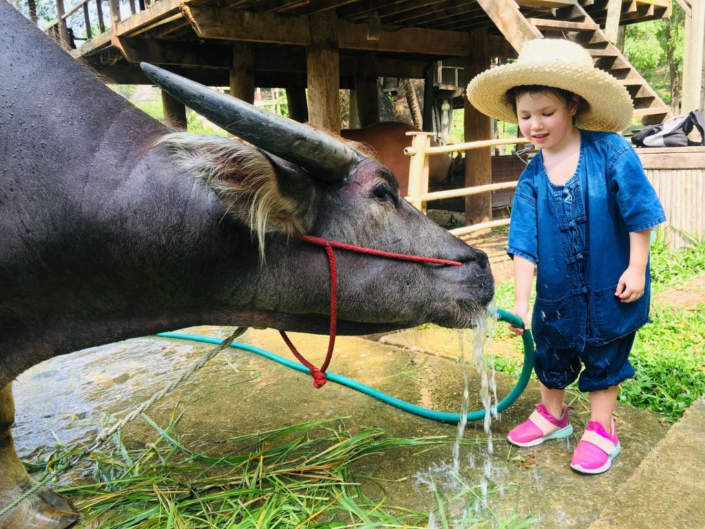 A young girl bathes a water buffalo at a family wellness holiday in Chiang Mai.