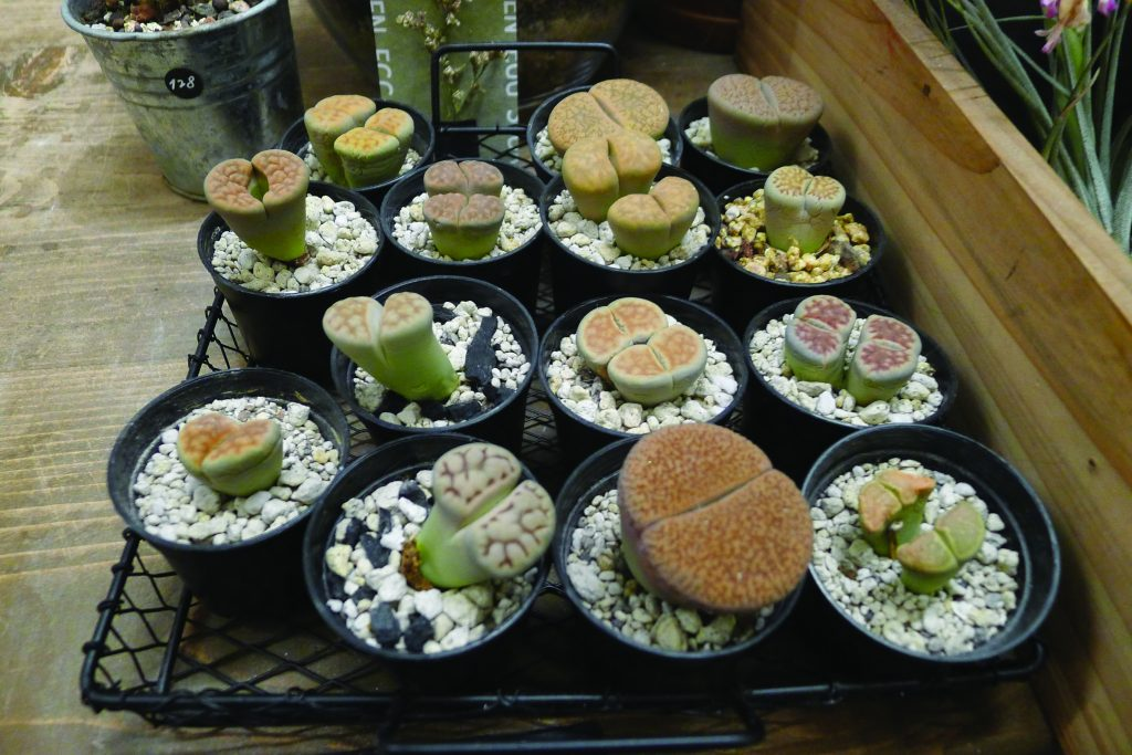Lithops or butt plants