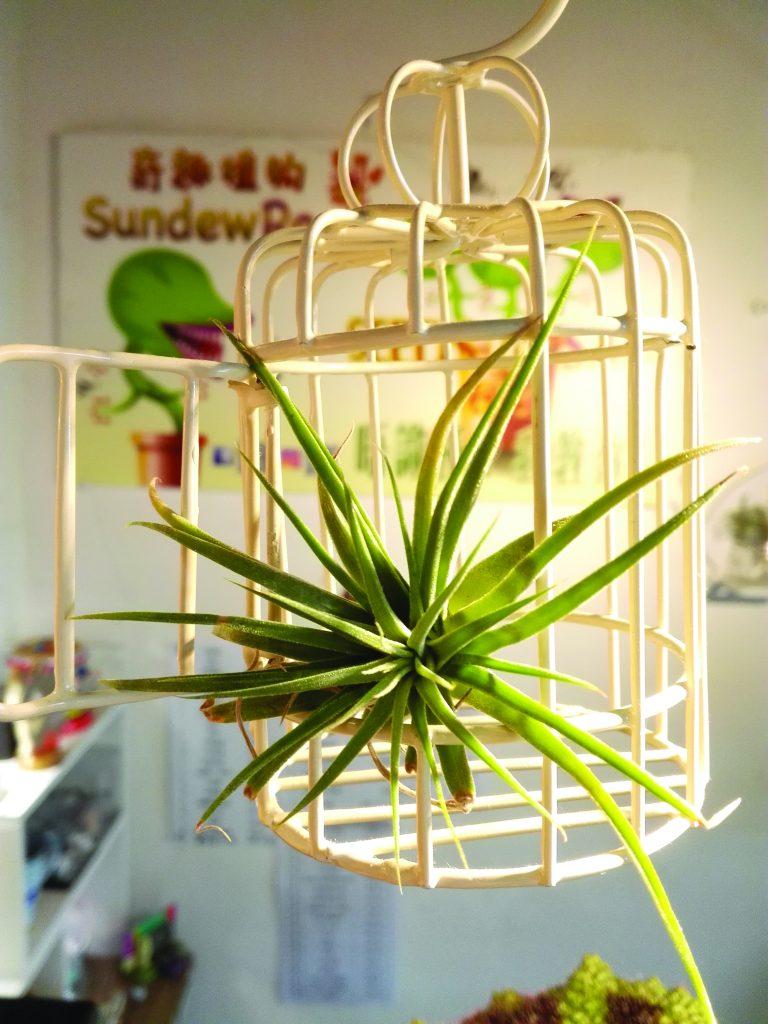 A tillandsia brachycaulos plant