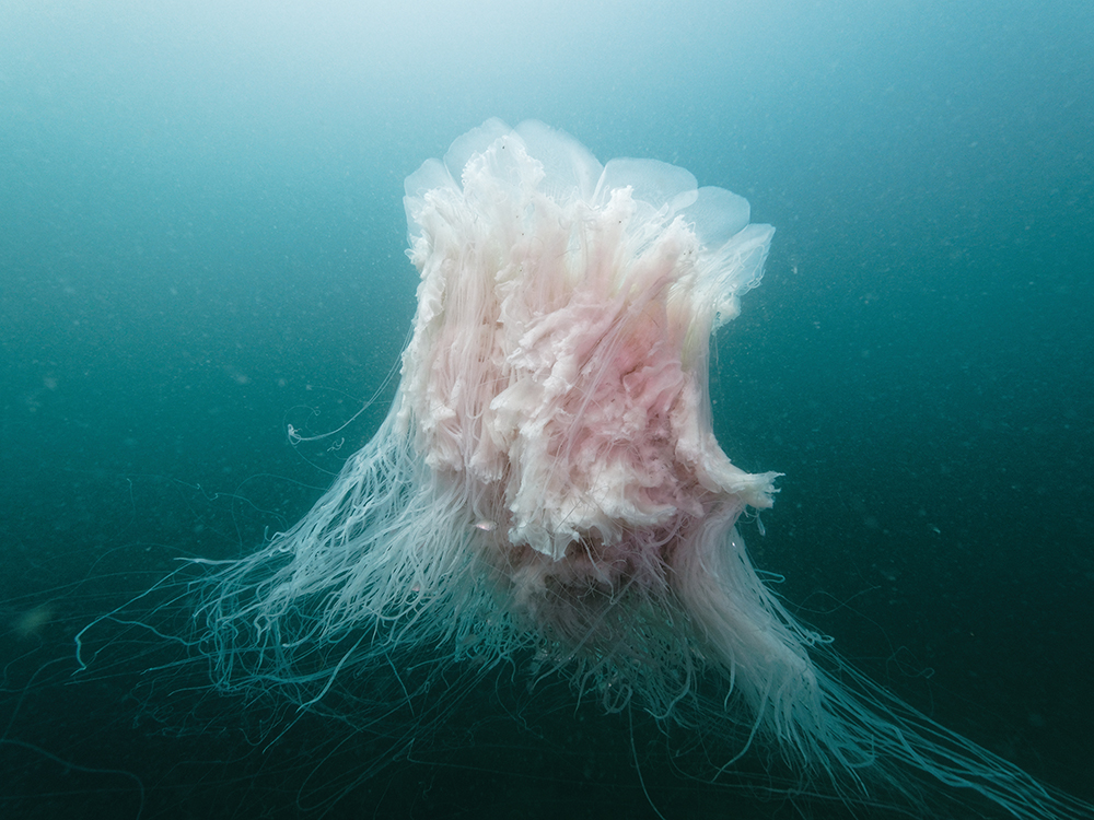 A pink jellyfish, seen while scuba diving in Hong Kong