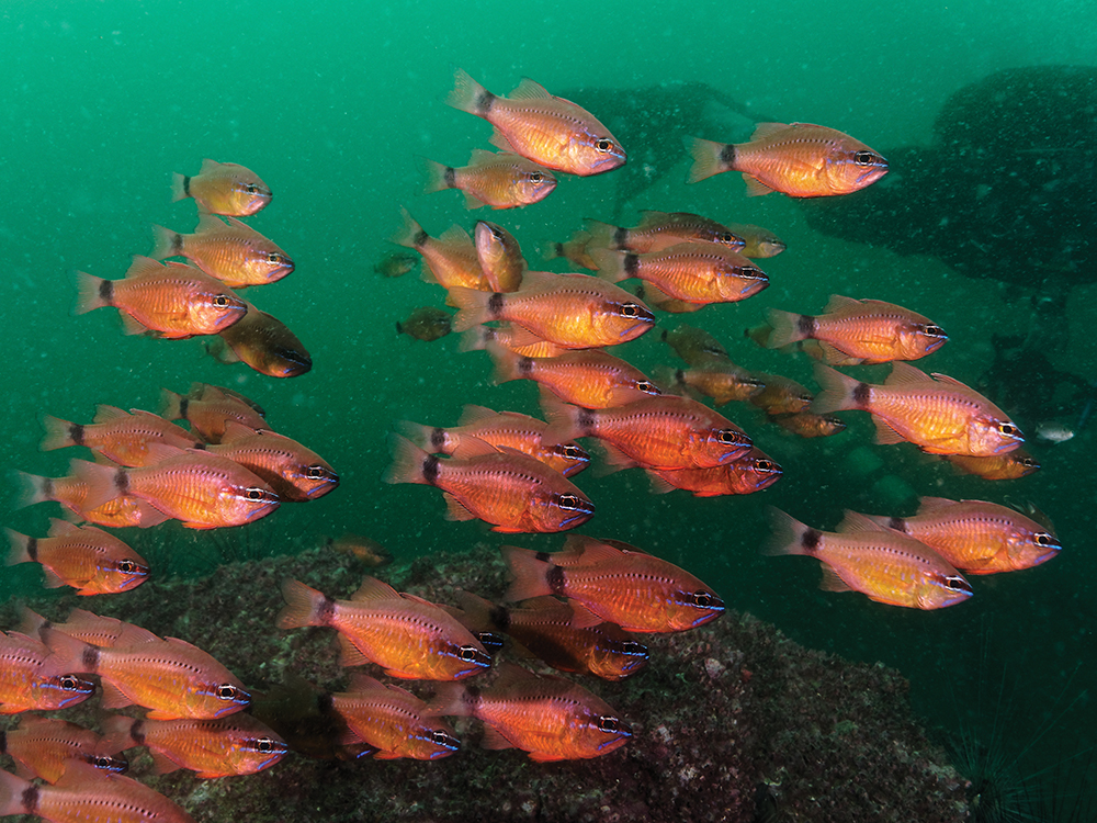 a school of orange fish, seen while scuba diving in hong kong