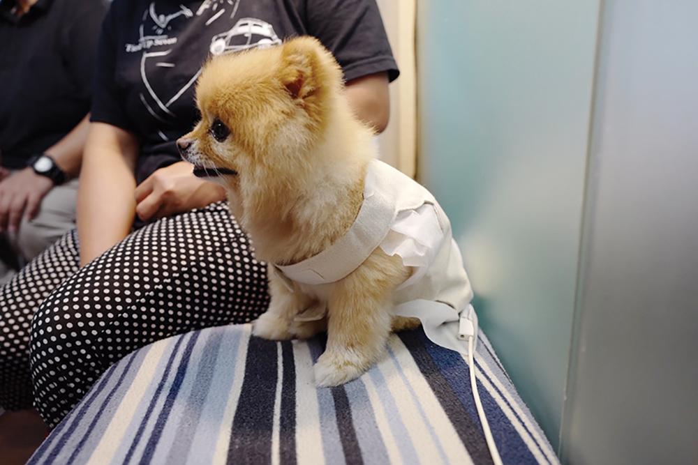 A small pomeranian sits in a biresonance vest at Waveworks, an alternative pet wellness treatment centre in Hong Kong.